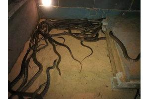 广西学员养殖的水律蛇