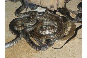 广东学员养殖的水律蛇