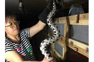女学员养蛇的五步蛇