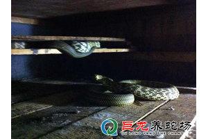 学员养殖成功的大王蛇