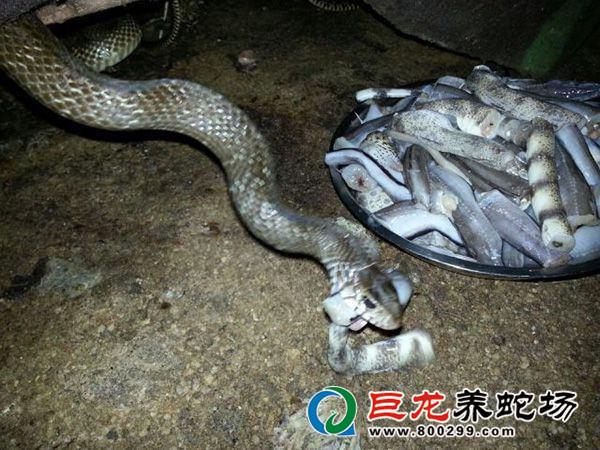 食用蛇养殖场