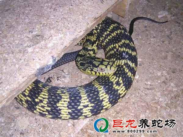 养蛇价格多少钱一斤