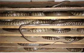 蛇病的预防和重点环节(基本功)