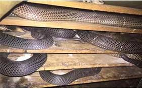 无冬眠养蛇技术