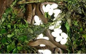 蛇种的人工培育方法